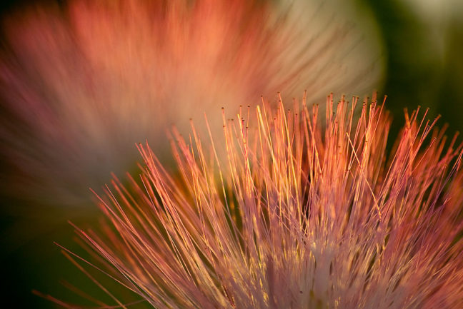 A mimosa blossom gently sways in an evening breeze in the front pasture on our patch of green last night.