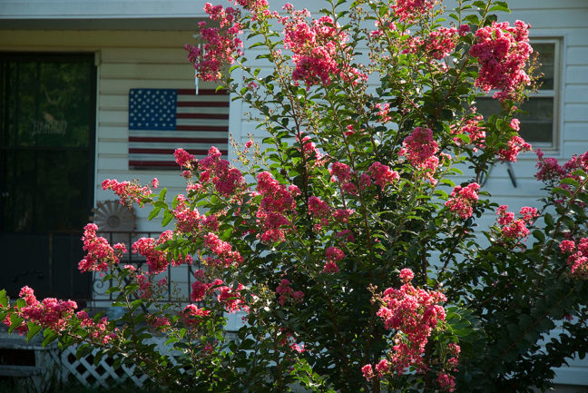 """The once-dead crepe myrtle in our front yard is our version of the """"survivor tree."""""""