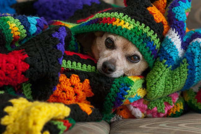 Max the Chihuahua takes cover under one of Abby's afghans, since the neighbors to the southwest apparently got some 75%-off fireworks after July 4 and were shooting them tonight.