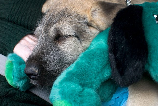 Hawked sleeps on a toy dog on the ride home from the puppy farm earlier this month.