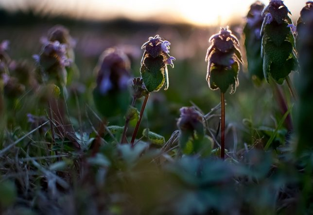 Henbit, one of the first weeds we see in spring, clings close to the ground with the sun setting in the background.