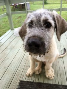 "Hawken the Irish Wolfhound puppy is vying for the title of ""Most Sincere Dog"" of the house. He is only 18 weeks old and already weighs more than 60 pounds."