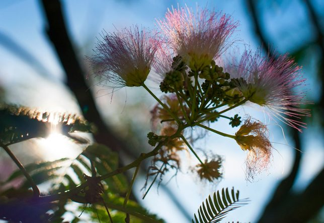 A mimosa blossom, a welcome harbinger of summer, shines in late afternoon light in my orchard.