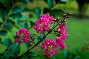 The runt crepe myrtle in the front yard, which we once presumed dead, has huge, healthy blossoms on it this year.