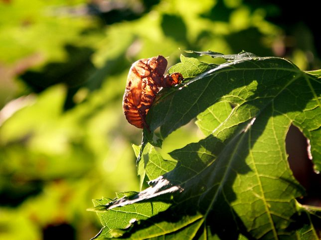A memory from childhood that is a sign of August: cicada skins.