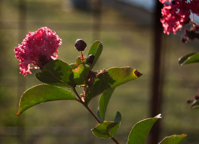 Our front yard crepe myrtle bushes are high and healthy, as shown in this image yesterday evening.