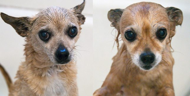 Max and Sierra, the Chihuahuas, had baths this morning. They don't love bathing, but they accept it. I think they look like drowned rats when they're wet.