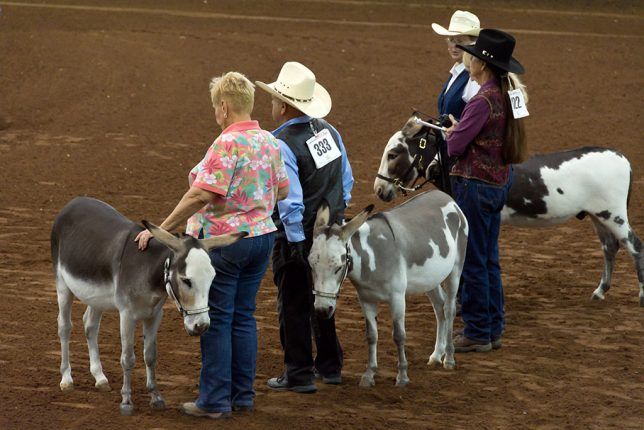 Owners and their donkeys wait their turn to compete.