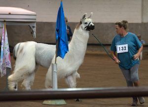 A trainer takes her llama through an obstacle course.