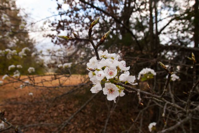 This is a wild plum tree, visible on the trail in the woods to the north, where I walk Hawken.