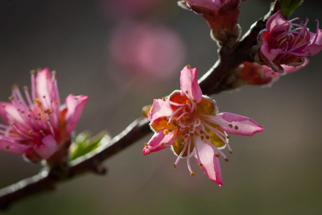 Something that never fails to make me smile are my peach trees, which are now in full bloom.