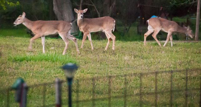 Three of the four deer who visited last night graze in the pasture to the east of our house. A fourth was out of sight to the left.