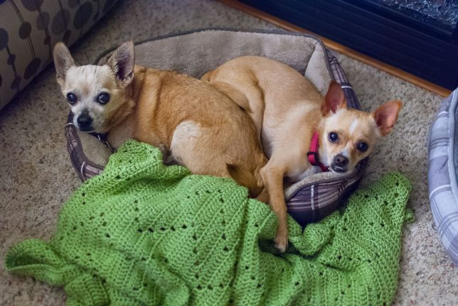 Despite each having their own bed, our Chihuahuas Max and Summer often crowd together in one bed. We think Summer is about 18 months old, and Max is about 12 years old.