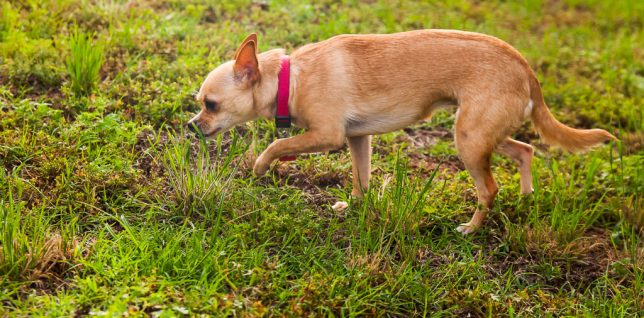 Summer Time Lane, the Chihuahua we adopted in April, prowls the front yard.
