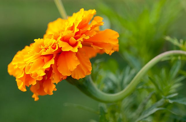 I grow marigolds in my vegetable garden. People will tell you they attract beneficial insects, but I think they are just fun to grow, and smell like paradise. I often pick some and bring them to Abby.