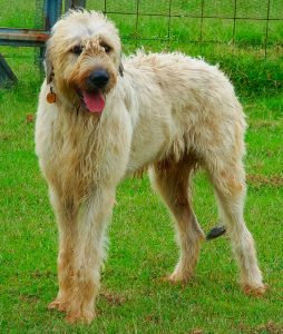 Hawken the Irish Wolfhound follows me around when I work just outside the fence.