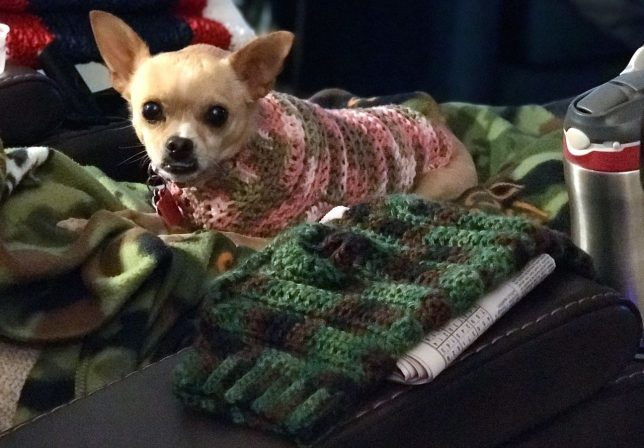 Summer the Chihuahua wears her handmade sweater for the first time this season.