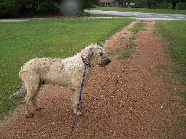Hawken the Irish Wolfhound stops on the driveway as he and I walk this evening. Later, he helped me solder some connectors for a 2-meter ham radio in the garage.