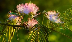 The mimosa trees on our property seemed to blossom overnight, and I was very happy to see them.