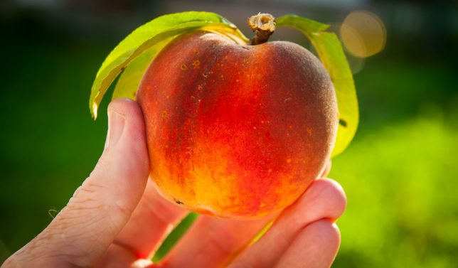 I hold in my hand the last peach I picked this season. Isn't it beautiful?