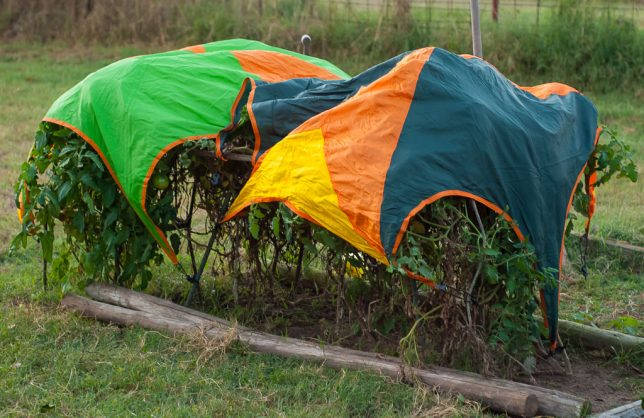 I put two camping tent rain flies over my tomatoes Thursday night, and though there was still some frost damage, most of the leaves and fruit are still healthy.