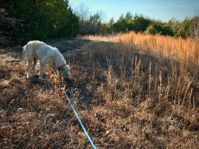 Hawken sniffs at a tuft as we walk on a two-track road far back behind our property. We walked for nearly an hour.