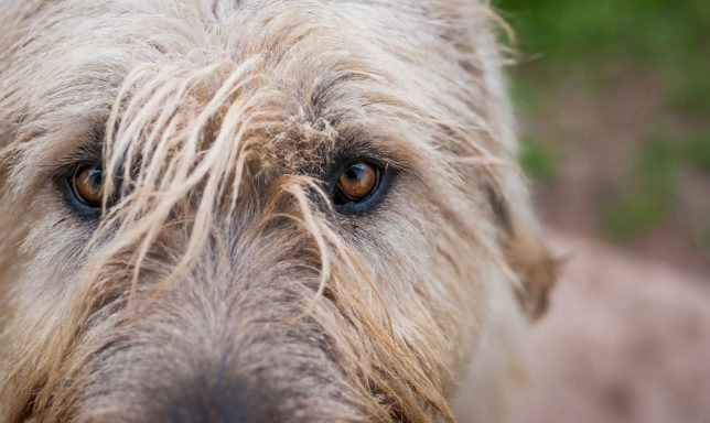 Hawken the Irish Wolfhound would walk ten times a day if I took him.