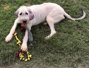 Hawken the Irish Wolfhound plays with his toys in the back yard.
