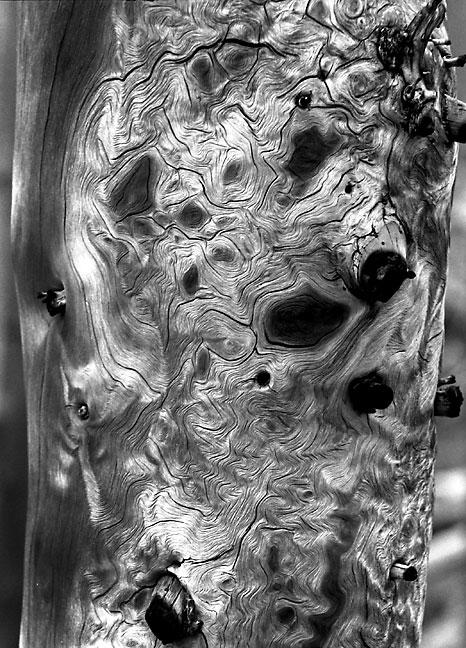 Bark detail, burned forest, Mount Evans Wilderness