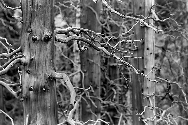 Burned and weathered trees create eery fingers in the Mount Evans Wilderness Area.