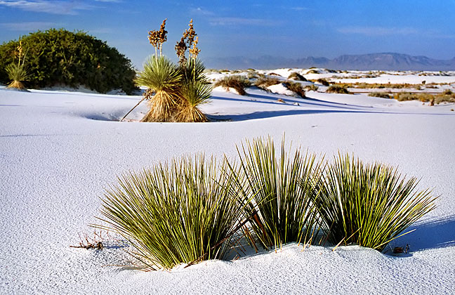 Soaptree Yucca clings to the surface at White Sands National Monument, New Mexico.