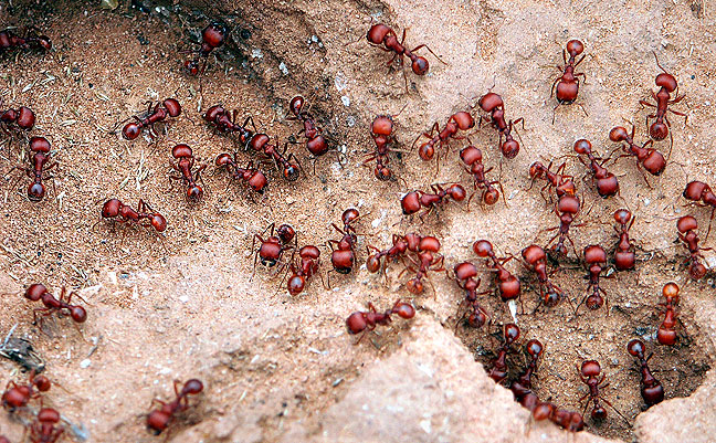 Red ants like these were a common site at Caprock.