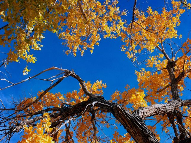 The cottonwood we stopped to photography not far from Four Corners stand brilliantly against the morning Colorado sky.