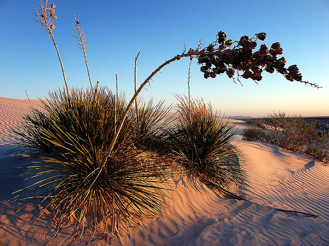 A soaptree yucca leans over as sunset approaches on the gypsum dunes at Guadalupe Mountains National Park.