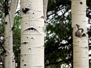 Birch bark, Kaibab National Forest, Arizona
