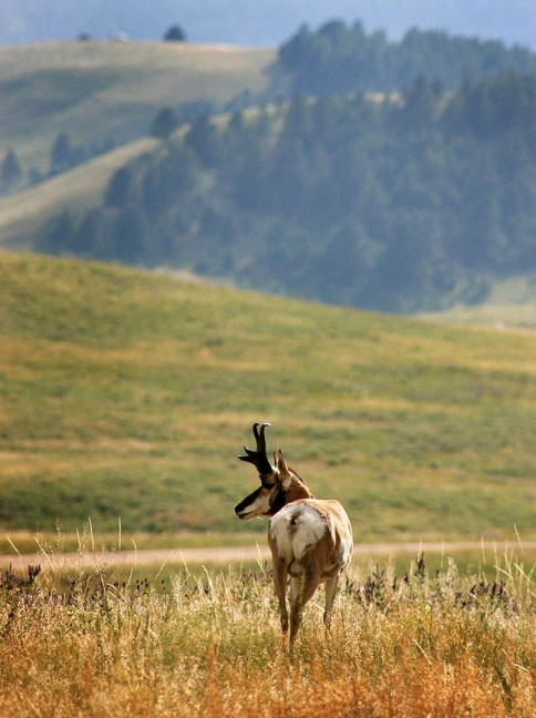Custer State Park, South Dakota, is noted for its wildlife, like this pronghorn.