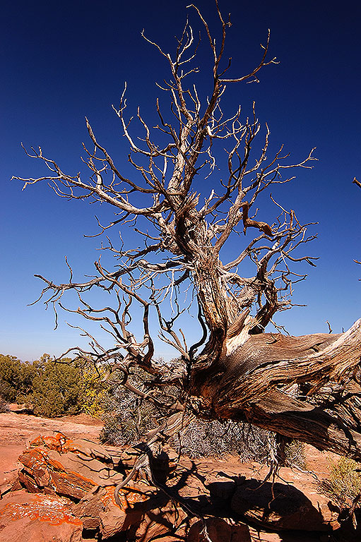 A weathered dead tree stands against a perfect blue sky at the Needles Overlook.