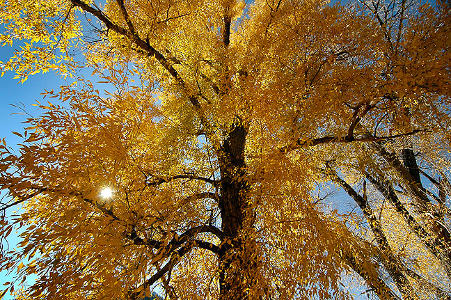 Afternoon sun streams through cottonwoods on U. S. 64 in southern Colorado; the light and air were exceptional.