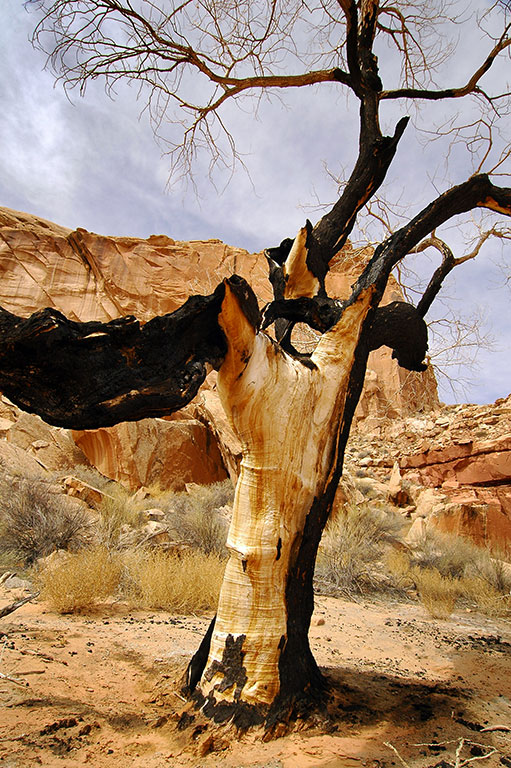 Finding my way back to the trail head in Horseshoe Canyon, I came across this tree that appeared to have been struck by lightning.