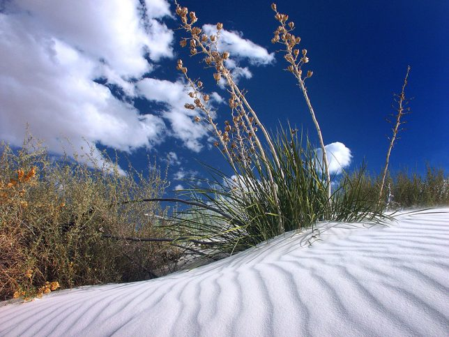 Soaptree yucca slings to the sand at White Sands National Monument, New Mexico.