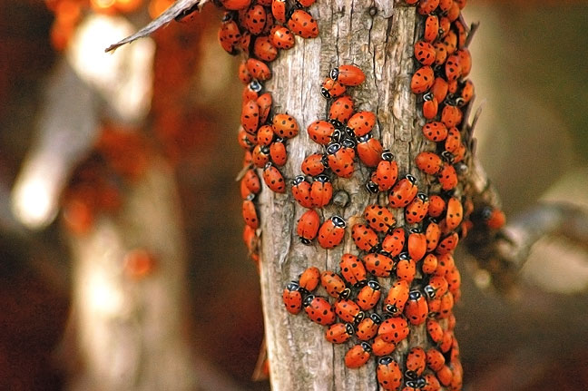 The Ladybug migration Capulin Volcano National Monument, New Mexico, is quite captivating.