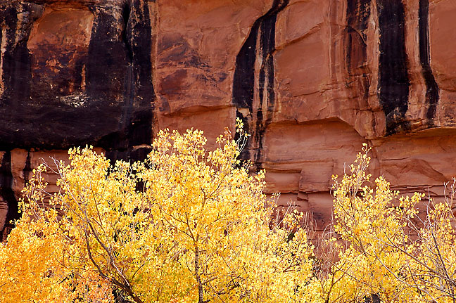 Cottonwood trees stand against a background of desert varnish on a cliff in Lost Canyon at Canyonlands National Park, Utah.