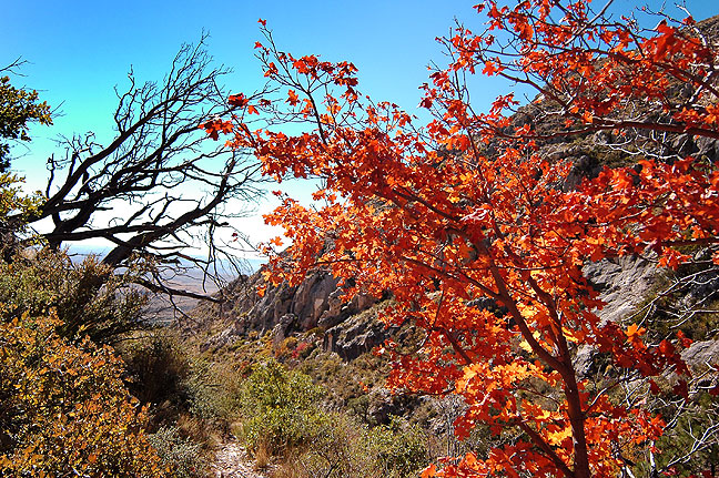 Autumn foliage clings to Bear Canyon near Hunter Peak at Guadalupe Mountains National Park, Texas. The Bear Canyon trail ascends 2400 feet in half a mile.