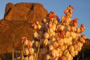 Yucca flowers, Chisos basin, Big Bend National Park.