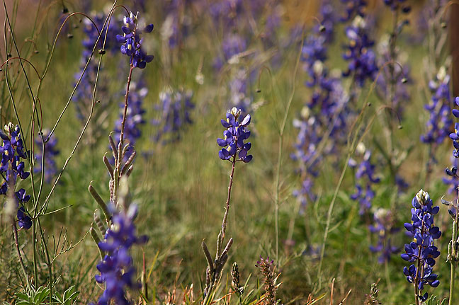 Texas Bluebonnets, Big Bend National Park.