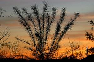 Desert shrub, sunset, Boquillas Canyon, Big Bend.