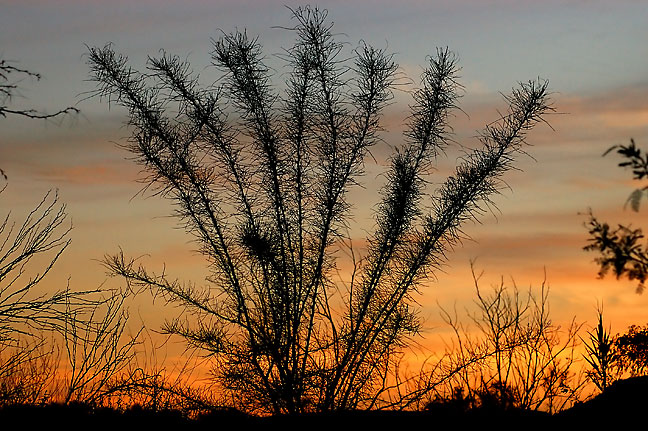Desert shrub, sunset, Boquillas Canyon, Big Bend.
