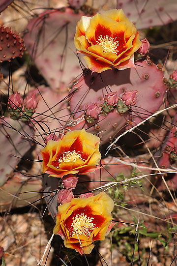 Cactus blossoms, The Chimneys trail, Big Bend.