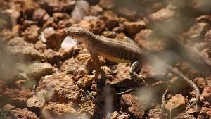 Lizard, Grapevine Hills.