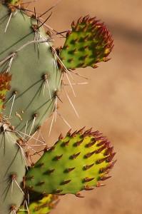 Cactus, Grapevine Hills.